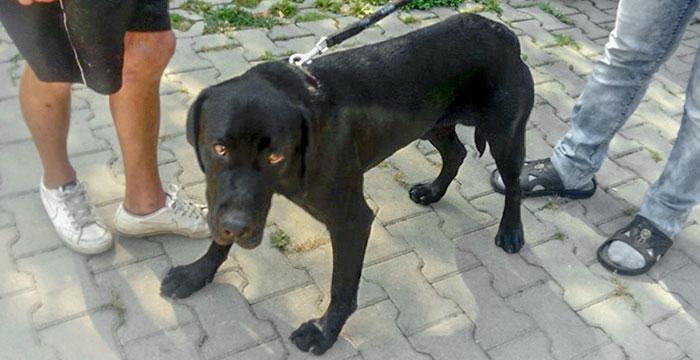 Tores - znaleziony labrador