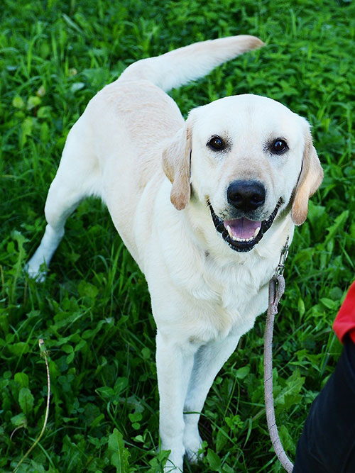 Albert, labrador do adopcji