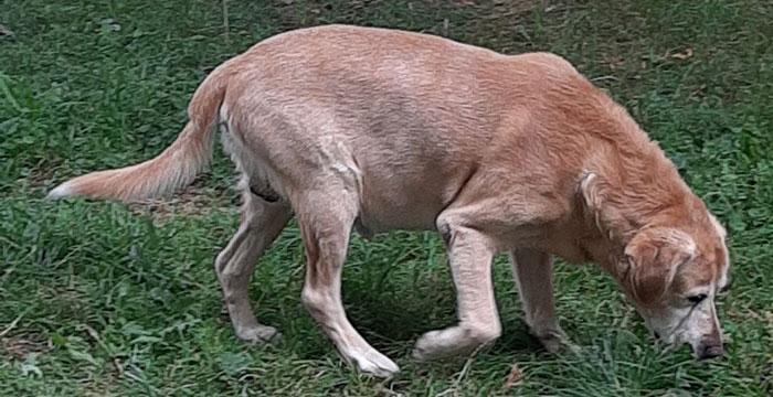 Dżeki, labrador do adopcji
