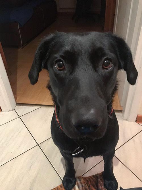 Gabi, labradorka do adopcji