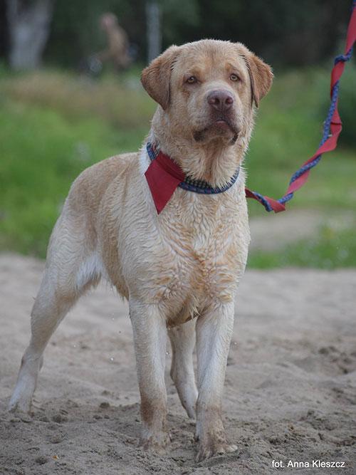 Salko, labrador do adopcji