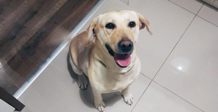 Labradorka Kira w domu tymczasowym