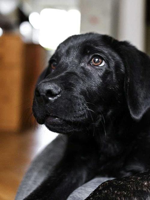 Riko, labradorek do adopcji
