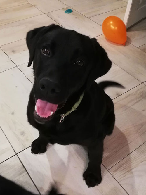 Homer, labrador do adopcji