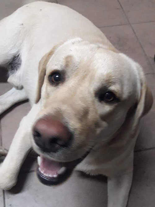 Gaper, labrador do adopcji