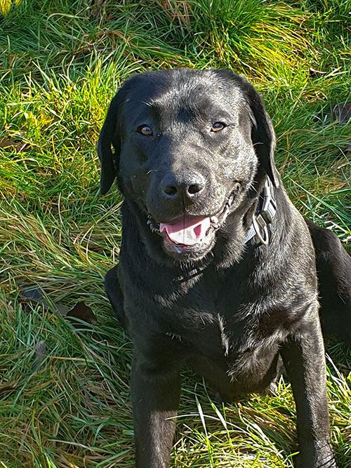 Laila, labradorka do adopcji