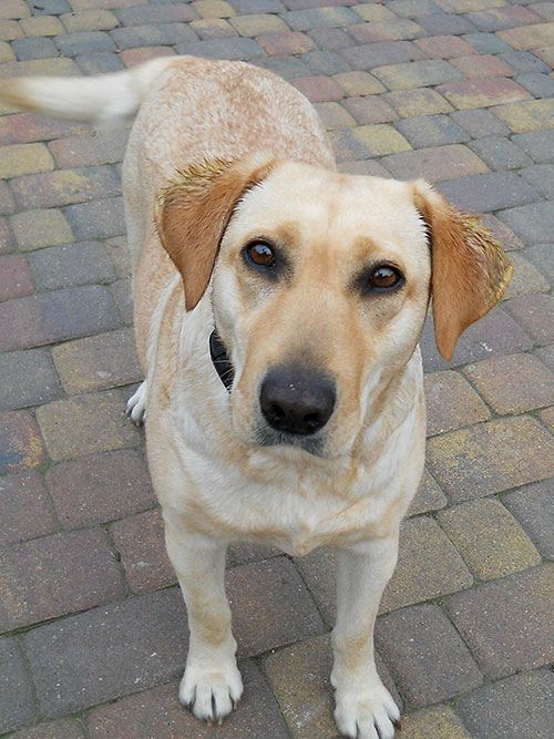 Maja, labradorka do adopcji