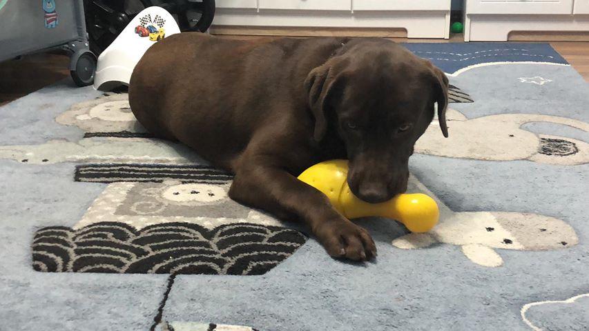 Skiper, labrador do adopcji