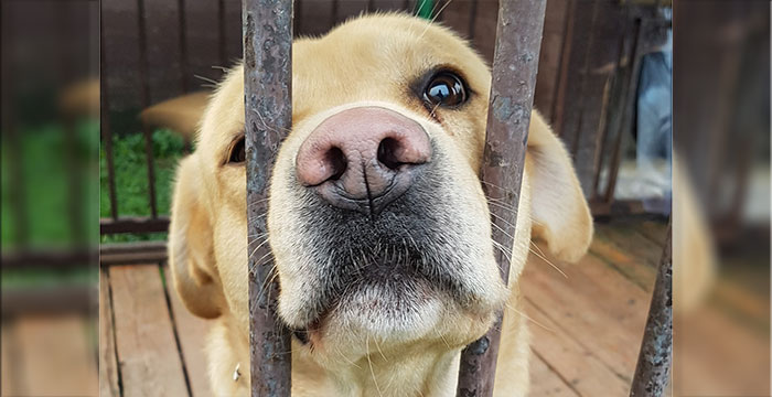 Ares, labrador do adopcji