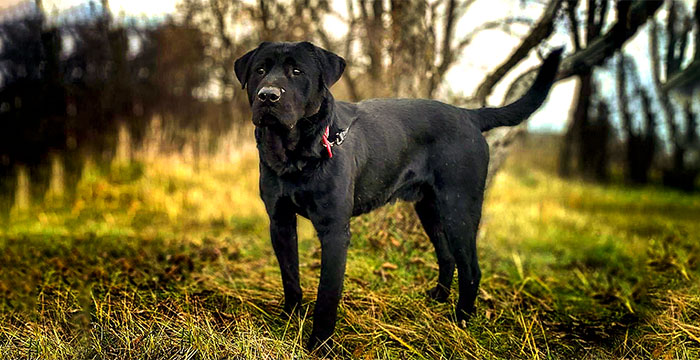 Chase, labrador do adopcji