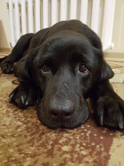 Sara, labradorka do adopcji