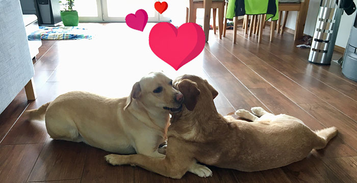 Labradory Lucky i Luna