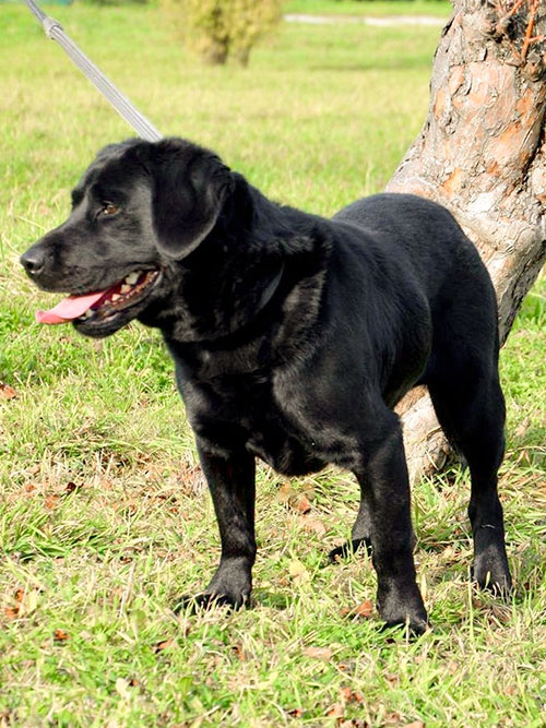 Halls, labrador do adopcji