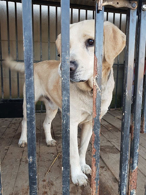 Maks, labrador do adopcji