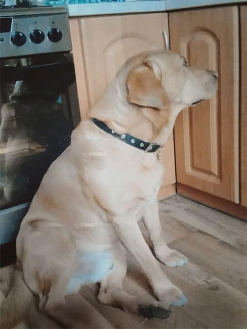 Labrador Rupert