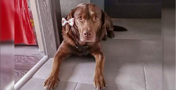 Stella, zaginiona labradorka