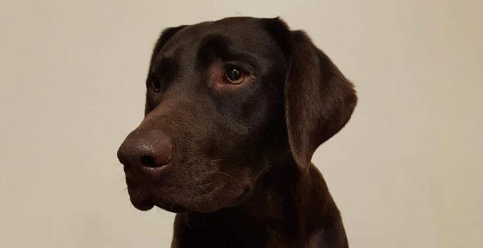 Tosia, labradorka do adopcji