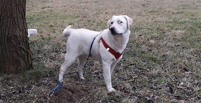 Gaja, labradorka do adopcji