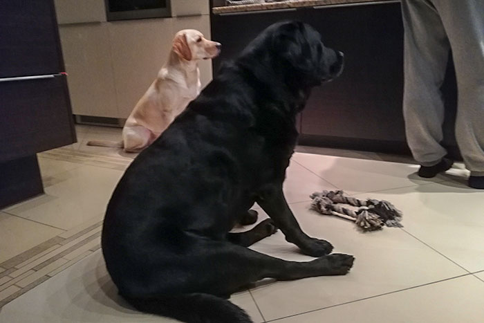 Labrador Gonzo
