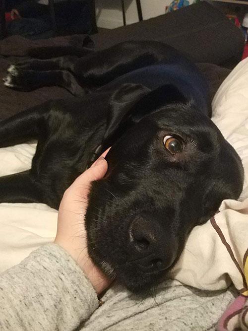 Labrador Kofi