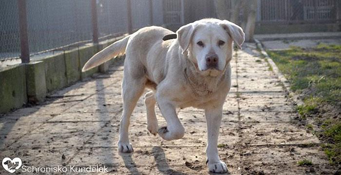 Stefka, labradorka do adopcji