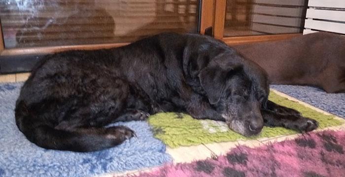 Wanda, niewidoma labradorka
