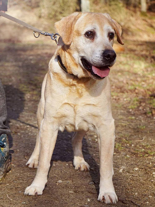 Brasco, labrador do adopcji