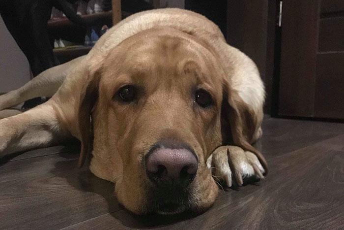 Labrador Oskar