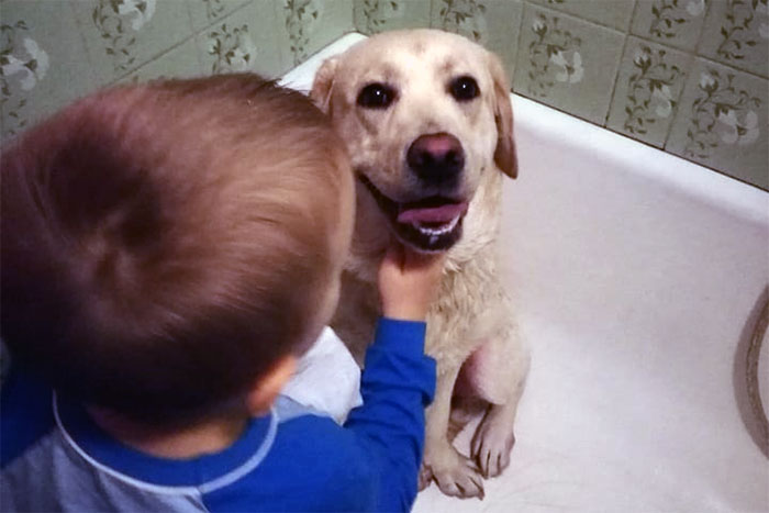 Goldi, labradorka do adopcji