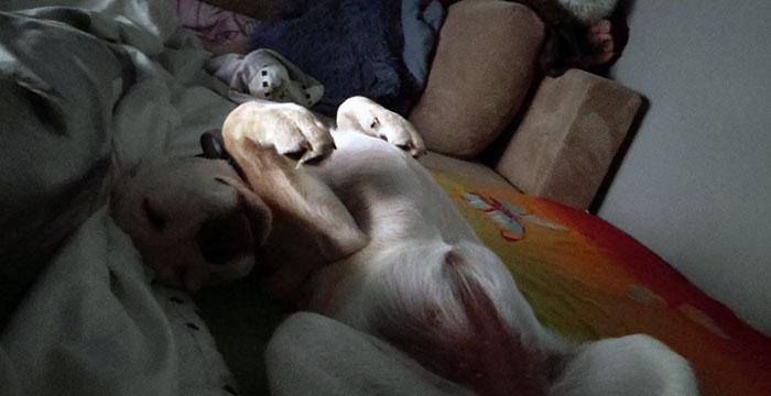Labradorka Maja do adopcji