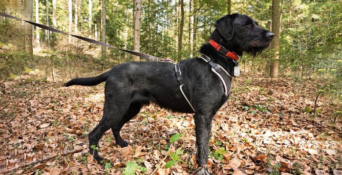 Swart, pies do adopcji