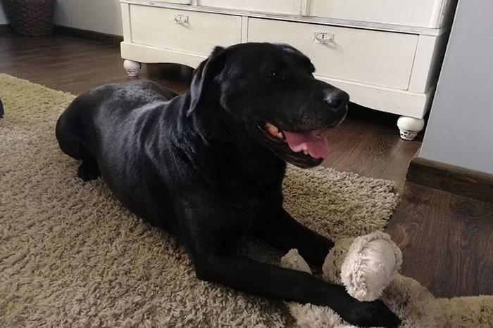 Sonja, labradorka do adopcji