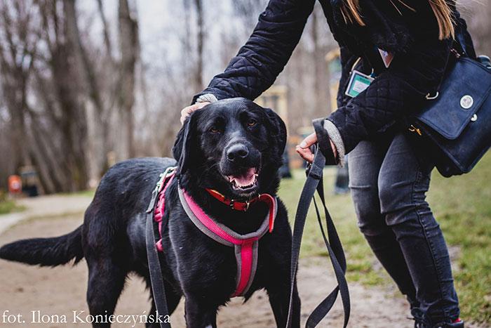 Szenli, labradorka do adopcji