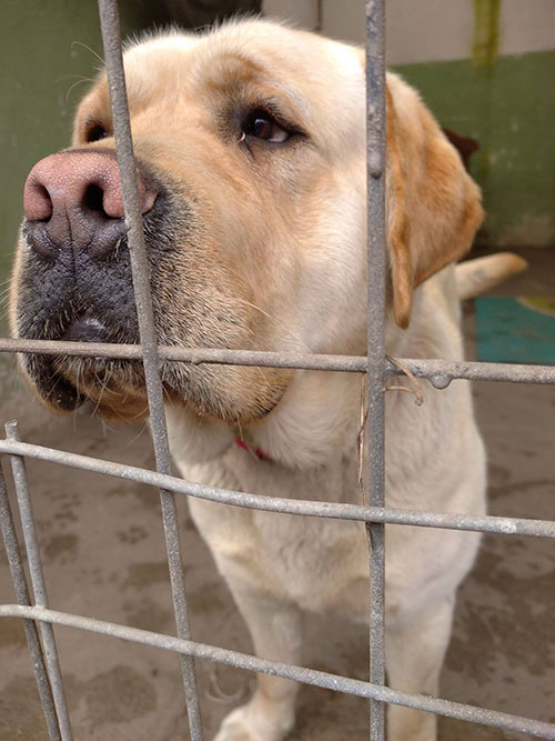 Gucio, labrador do adopcji