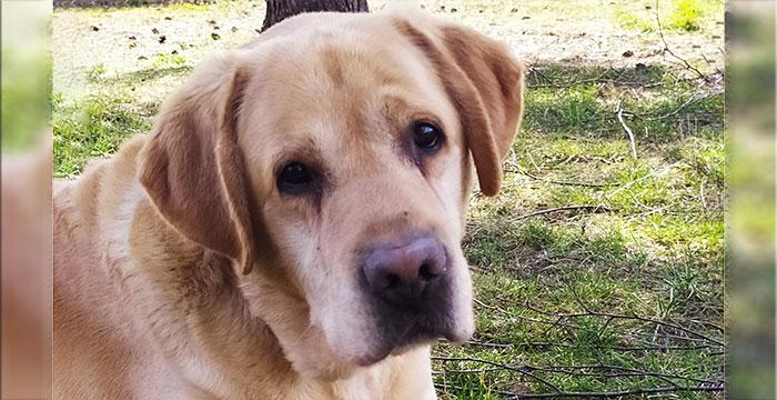 Bursztyn, labrador do adopcji