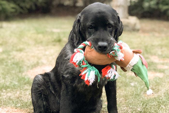 Wego, labradorka w potrzebie