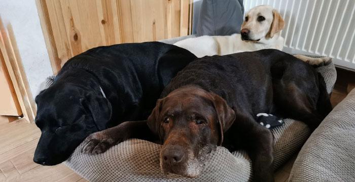Labrador Wonder