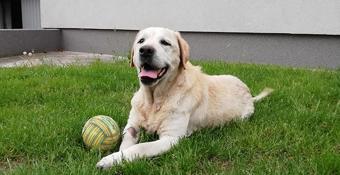 Blondi, labradorka do adopcji