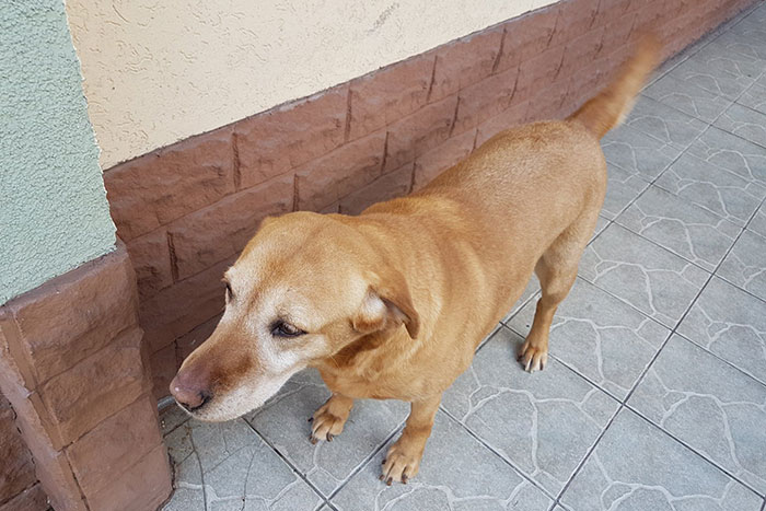 Dafi, labradorka do adopcji