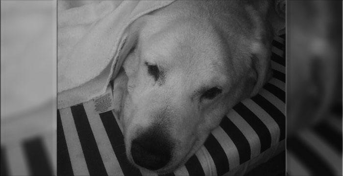 Labrador Parys