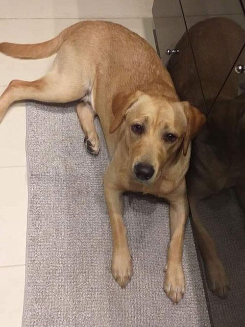Max, labrador do adopcji