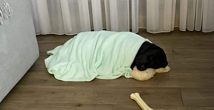 Bambo, labrador do adopcji