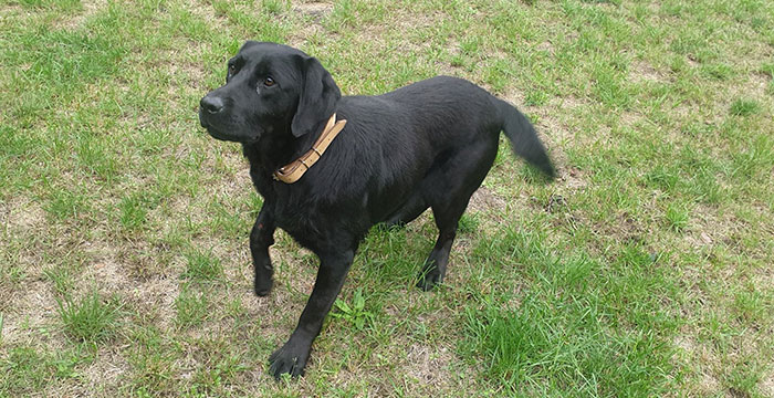 Kimbra, labradorka do adopcji