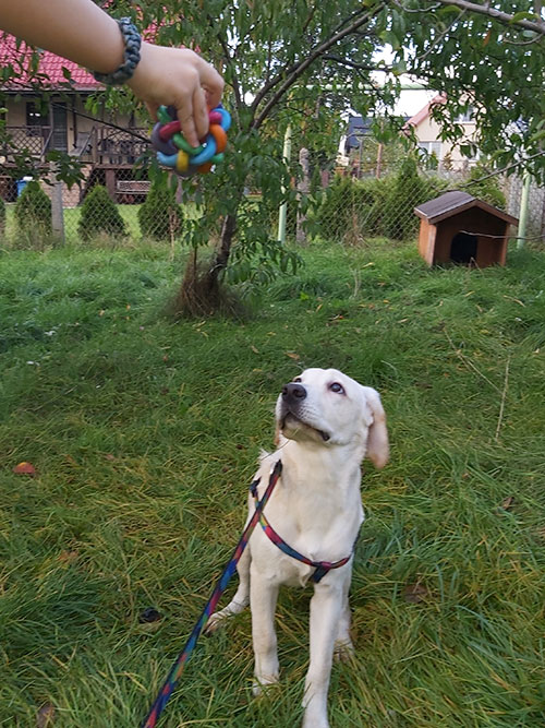 Mia, labradorka do adopcji