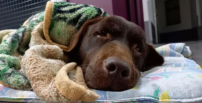 Sami, labradorka w potrzebie