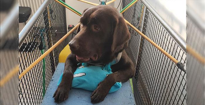 Sami, labradorka do adopcji