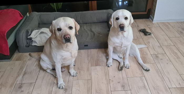 Leon i Damiś, labradory do adopcji
