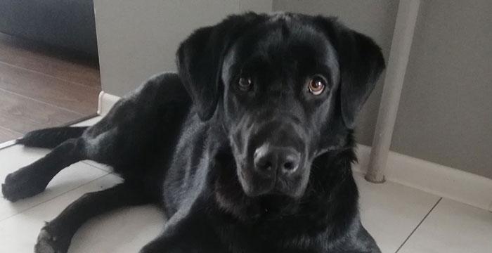 Baster, labrador do adopcji
