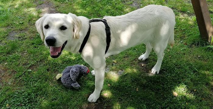 Zoya, labradorka do adopcji